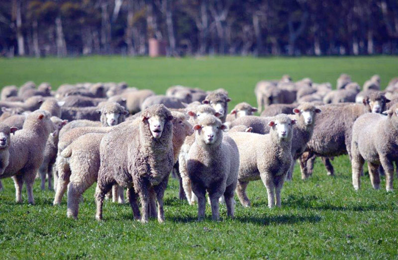 7Yr Merino Ewes & White Suffolk lambs