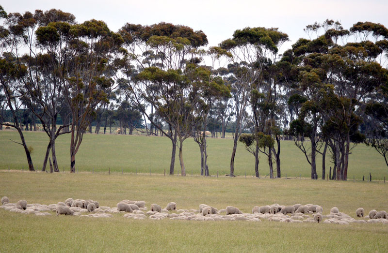 Content Weaners prior to shearing