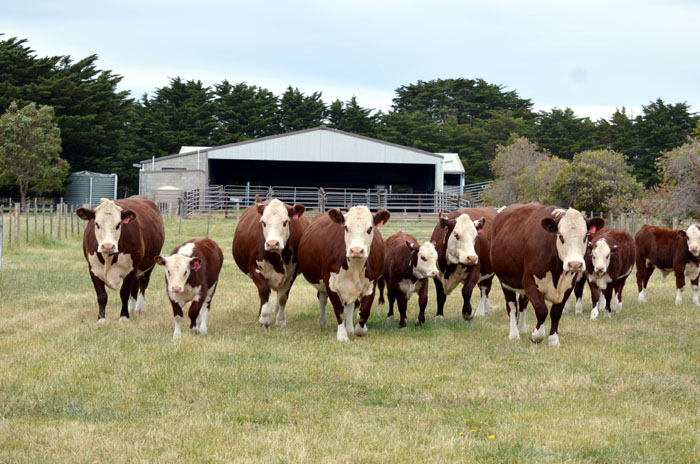 Stud females with spring calves