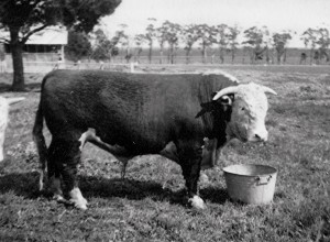 Ennerdale Captain – Born 30/09/1944                                                                                                                                   The first bull bred by Ennerdale.