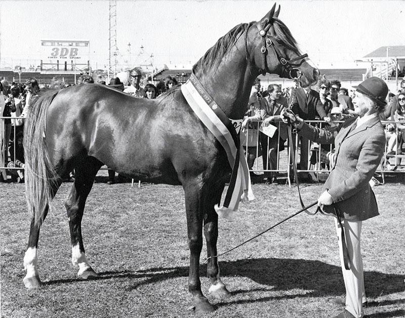 Fable (Sindh – Fadoura). Champion Stallion Melbourne Royal and winner of the Ridden Arabian Stallion. Sired many top performance horses.