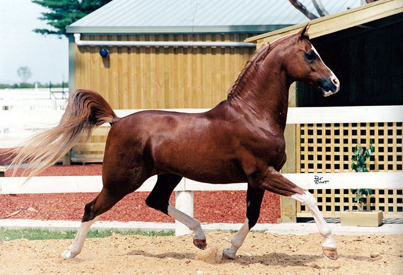 Mikinda's Mr Majestic (El Shafie – Woodland Sanadu) Winner of many Championships at halter and under saddle.